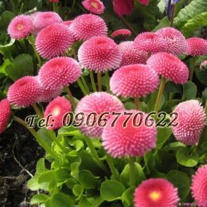 Hạt giống hoa cúc anh – Bịch 10 hạt