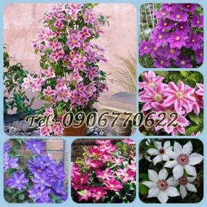 Hạt giống hoa leo ông lão – Bịch 10 hạt