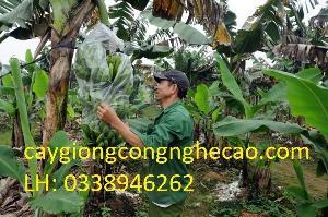 Cung cấp cây giống: Chuối Tiêu Hồng nuôi cấy mô