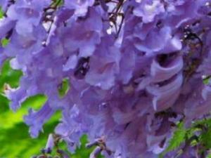 Bán hạt giống cây hoa phượng tím