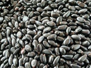 Bán hạt giống cây na