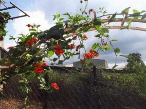 Cúc leo đỏ