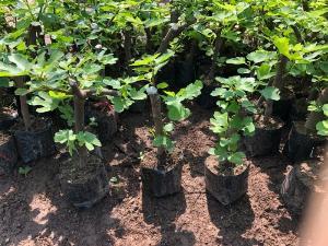 Cung cấp cây sung mỹ giống chuẩn chất lượng cao.