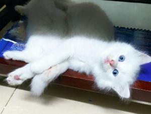 Bán 3 bé mèo Anh LD màu trắng - Mun mắt Xanh