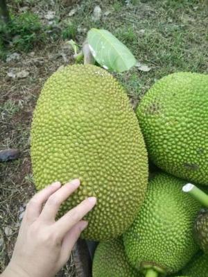 2021-03-03 07:27:41  5  Giống cây Mít Thái lô chuẩn đẹp - chuẩn giống loại . 65,000
