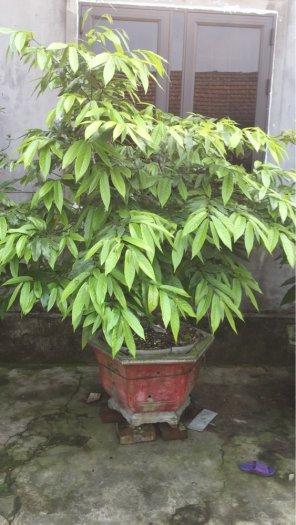 Cung cấp cây giống cây hoa dẻ toàn quốc