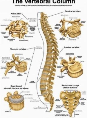 Tranh giải phẫu xương cột sống- The vertebral column