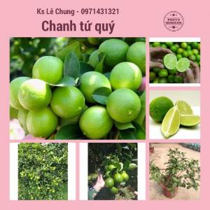 Chuyên cung cấp cây chanh tứ quý ( chanh bốn mùa )