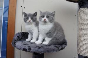 (HCM) Mèo con ALN xám xanh bicolor cần tìm chủ