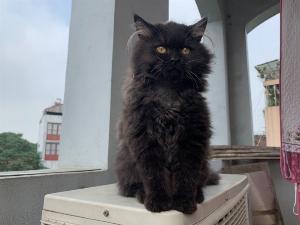 Bé mèo Anh Lông Dài đen 3 tháng tuổi cần tìm chủ mới
