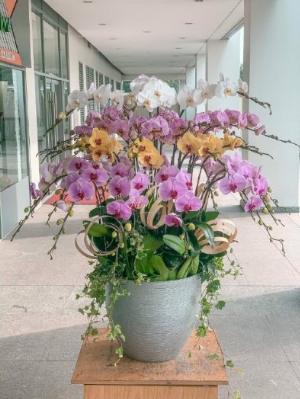 Chậu hoa lan hồ điệp 20 cành 3 màu trắng tím cam - HLNK02