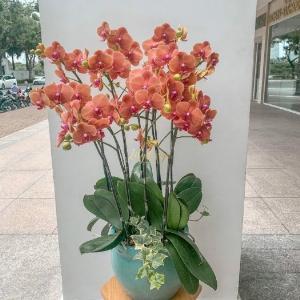 Chậu hoa lan hồ điệp 9 cành cam đất - HLNK03