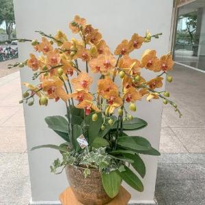 Chậu hoa lan hồ điệp màu cam sọc 12 cành- HLNK04