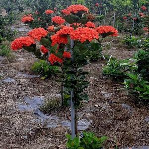 Bán giống cây Mẫu Đơn cam Đài Loan