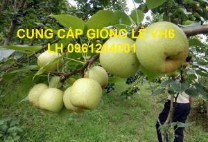 Chuyên cung cấp giống cây lê VH6, lê tai nung, cây lê, số lượng lớn, giao hàng toàn quốc