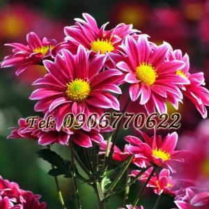 Hạt giống hoa cúc họa mi màu hồng nhụy vàng – Bịch 10 hạt