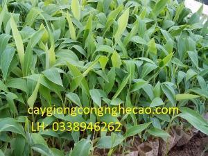 Bán cây giống: Chuối Tây Thái Lan (nuối cấy mô)