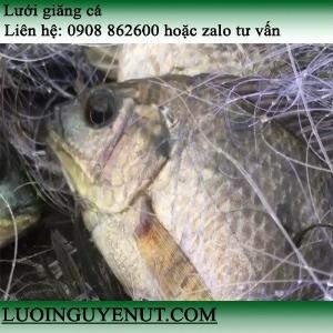 Lưới giăng cá chẽm, cá lóc lớn