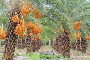 ( Siêu Hót) Cây Giống Chà Là Trung Đông Chuẩn Giống f1 Ra Trái Sau 2 Năm
