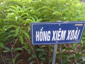 Cây Hồng Xiêm (mà bà con phía Nam gọi là cây Sabôchê)