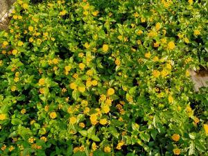 Hoa ngũ sắc tím rủ, vàng rủ.