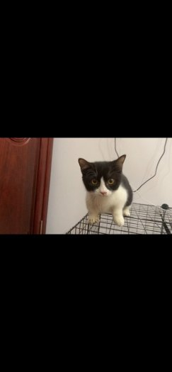 Mèo munchkin cái chân ngắn 3,5 tháng
