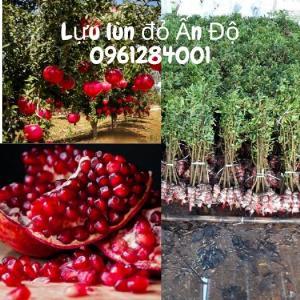 Cây giống lựu lùn đỏ Ấn Độ, lựu lùn F1, cây giống nhập khẩu chất lượng cao
