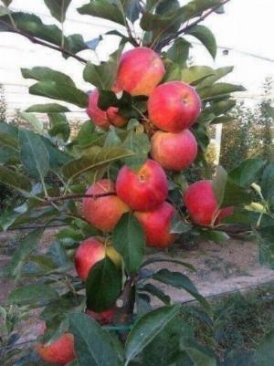 Bán cây giống táo tây đỏ nhập khẩu.