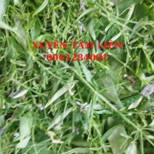 2021-07-24 15:15:56  10  Cây giống xuyên tâm liên, xuyên tâm liên_Vị thuốc tiềm năng trong phòng chống COVID-19 15,000