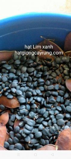 Bán hạt giống Lim Xanh
