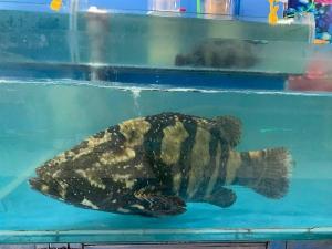 Bán cá song tại hà nội