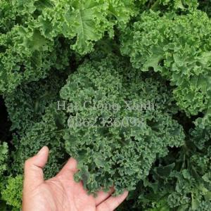 Hạt giống cải xoăn Kale Mỹ, cải xoăn kale starbor, hạt giống f1