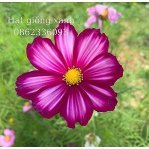 Hạt giống hoa sao nhái mix Sensation, hạt giống f1 nhập khẩu Mỹ