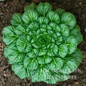 Hạt giống Cải hoa hồng Mỹ, Hạt giống cải Tatsoi Mỹ - tỷ lệ nảy mầm 95%