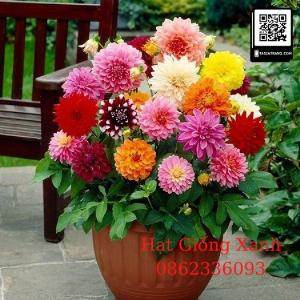 Gói 10 hạt giống hoa thược dược lùn mix màu - tỷ lệ nảy mầm 90%, hạt giống Đài Loan f1