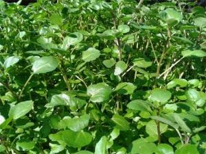 Hạt giống cải xoong Mỹ trồng cạn loại ngọn