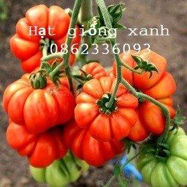 Hạt giống cà chua múi Costo (giống hữu cơ), hạt giống nhập khẩu Mỹ, hạt giống F1