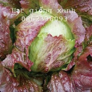 Hạt giống xà lách Iceberg đỏ, gói 100 hạt, hạt giống Mỹ, hạt giống F1