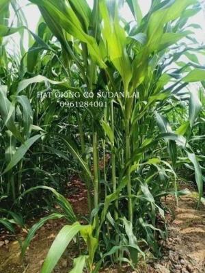 Cung cấp giống cỏ Sudan lai, giống cỏ ngô, uy tín, chất lượng