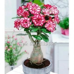 Hạt giống hoa sứ kép Thái Lan – Bịch 10 hạt – Mã số 1026