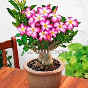 Hạt giống hoa sứ Bonsai cánh hồng – Bịch 10 hạt – Mã số 1044