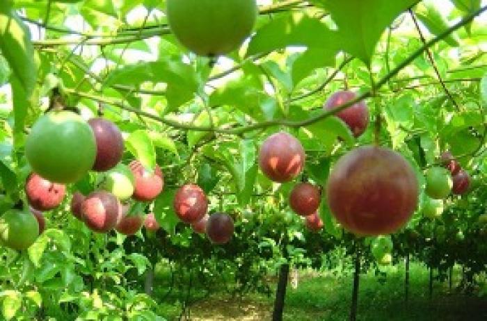 Kỹ thuật trồng và chăm sóc cây chanh dây tại nhà đơn giản cho quả sai