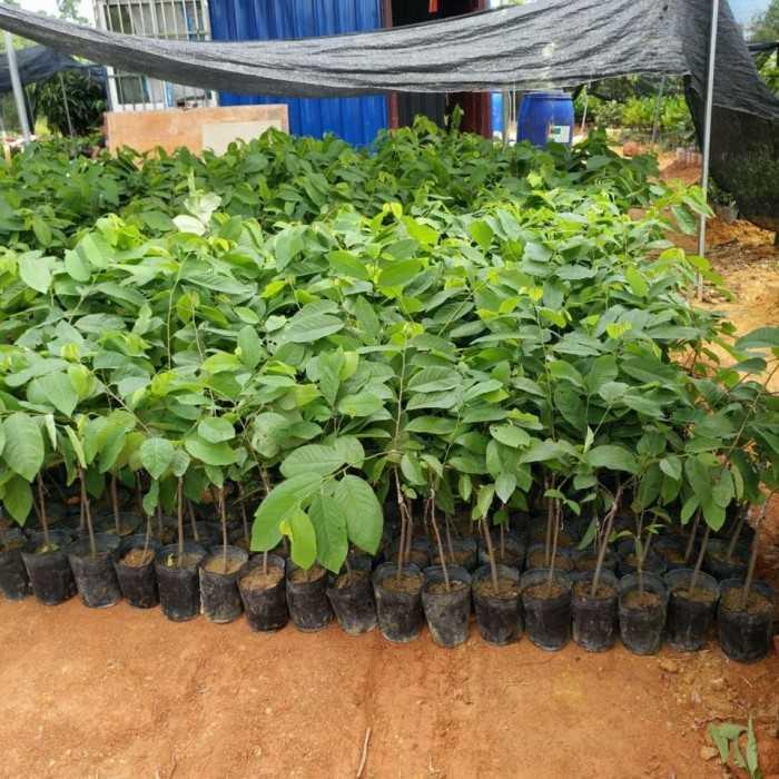 Mua cây giống na bở, mãng cầu Đài Loan ở đâu tốt tại Hà Nội