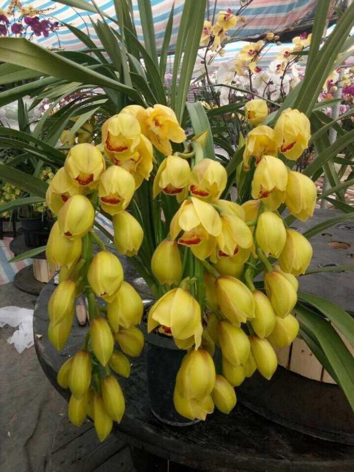 Cây Hoa Địa Lan vàng đẹp