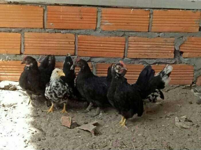 Giống gà tre thái
