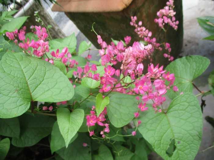 Cây hoa Tighon