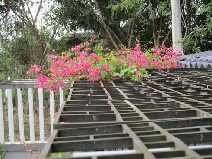Cây hoa Tigon