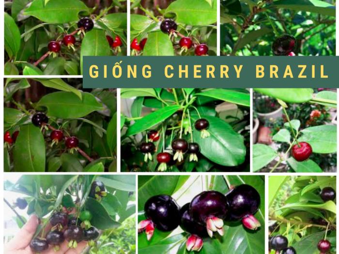 Mua cây cherry ở đâu TPHCM - cây giống cherry Brazil chịu nhiệt, khỏe mạnh không sâu bệnh, phù hợp thời tiết Việt Nam