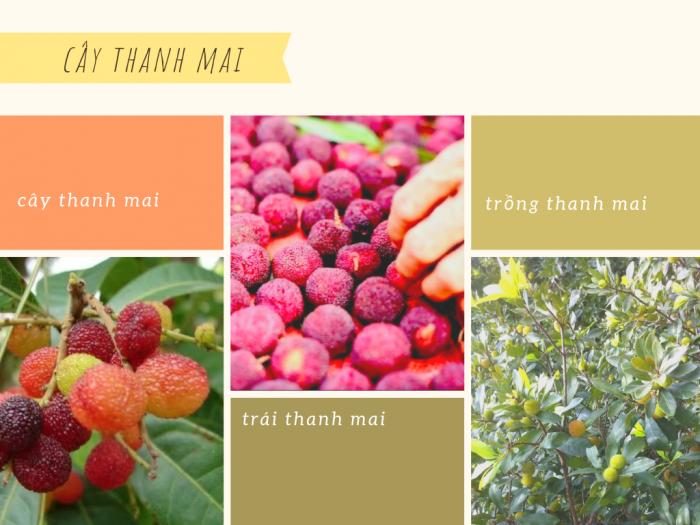 Cây thanh mai trồng ở đâu tại Việt Nam, Trung Quốc, Hongkong - nguồn gốc cây thanh mai, giống cây thanh mai