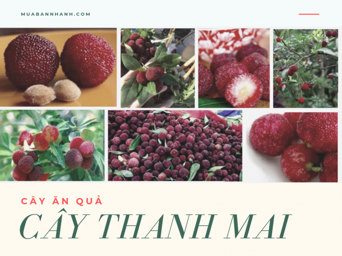 Bán cây thanh mai giống - cây thanh mai ăn quả kèm tài liệu hướng dẫn kỹ thuật trồng, cách chăm sóc
